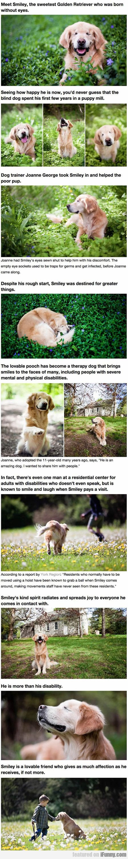 Smiley The Golden Retriever Born Without Eyes Animals - Born blind smiley the golden retriever becomes a loving therapy dog