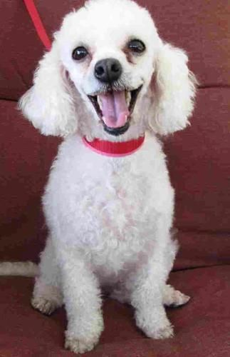 Poodle Miniature Dog For Adoption In Houston Tx Adn 761945 On