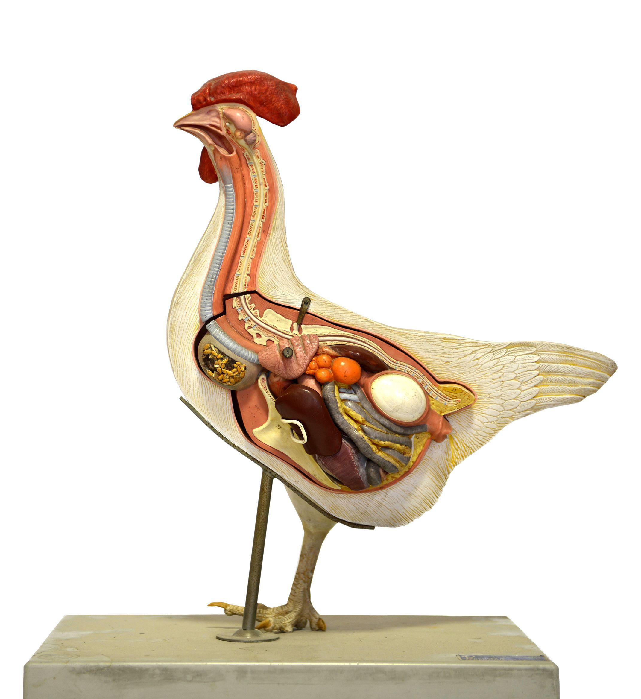 Anatomie Poule maquette pour l'enseignement de l'anatomie de la poule, vers 1950