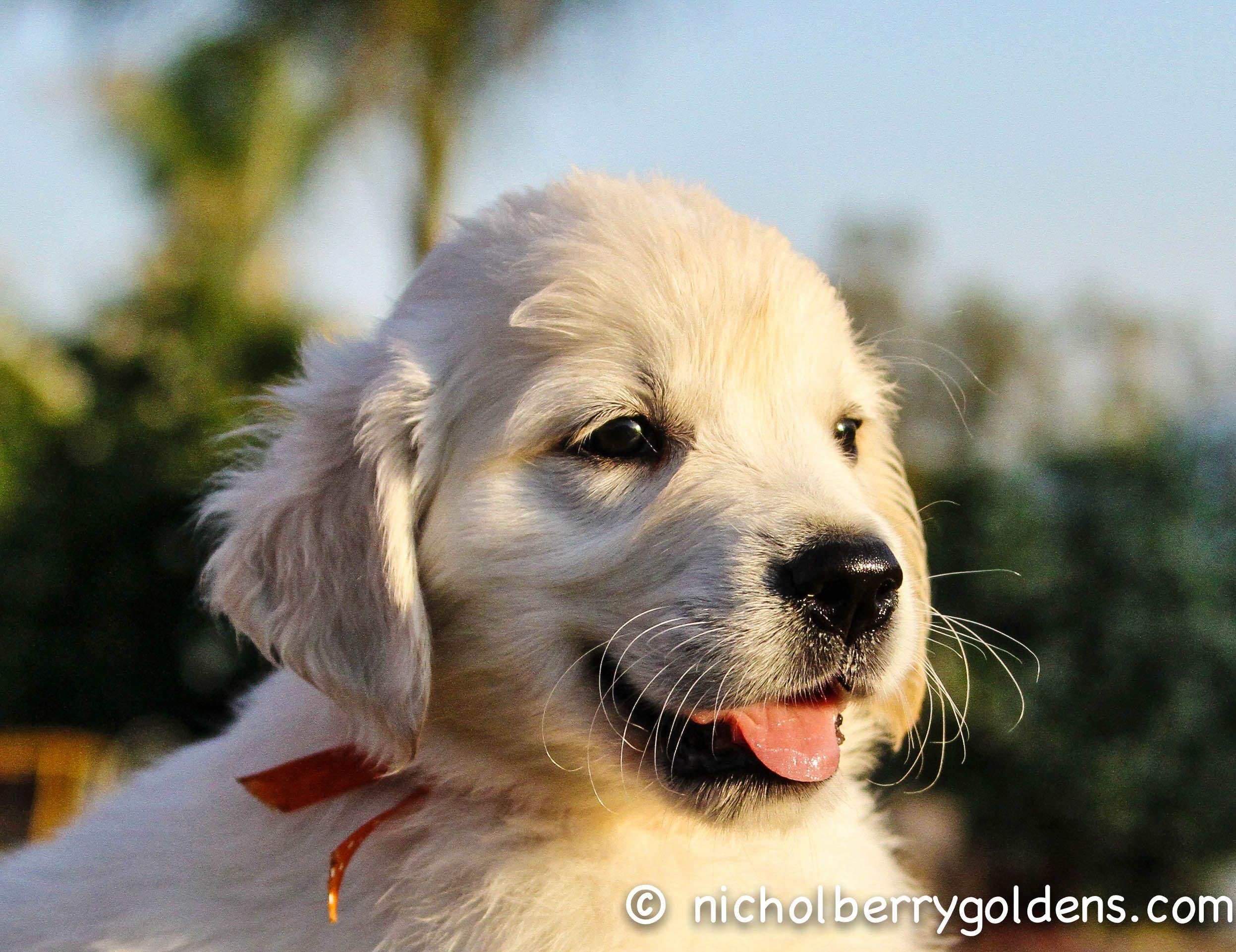 Www Nicholberrygoldens Com 7 Week Old English Golden Retriever Puppy English Golden Retriever Puppy Golden Retriever English Golden Retrievers