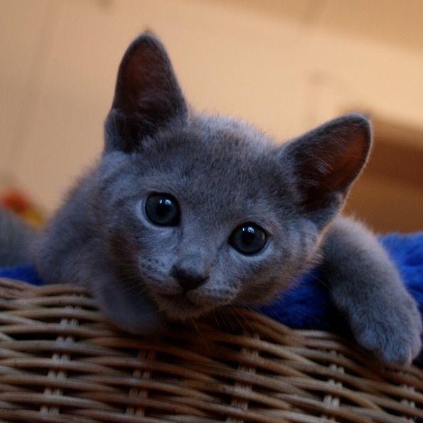 Russian Blue Kitten Fluffy Cat Breeds Russian Blue Kitten Fluffy Cat