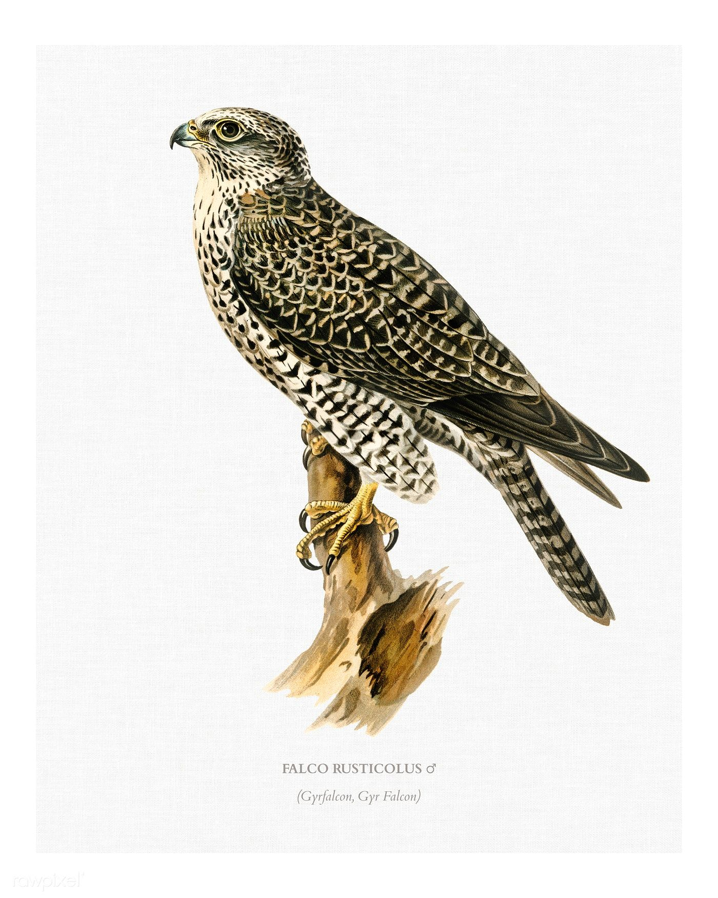 Download Premium Illustration Of Gyrfalcon Male Falco Rusticolus Vintage Bird Illustration Illustration Illustration Wall Art