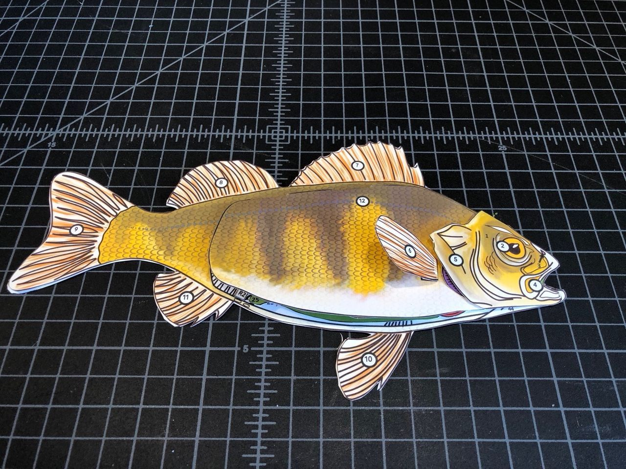 hight resolution of Perch 3-d scienstructable dissection paper fish model. Use as a  cruelty-free exploration