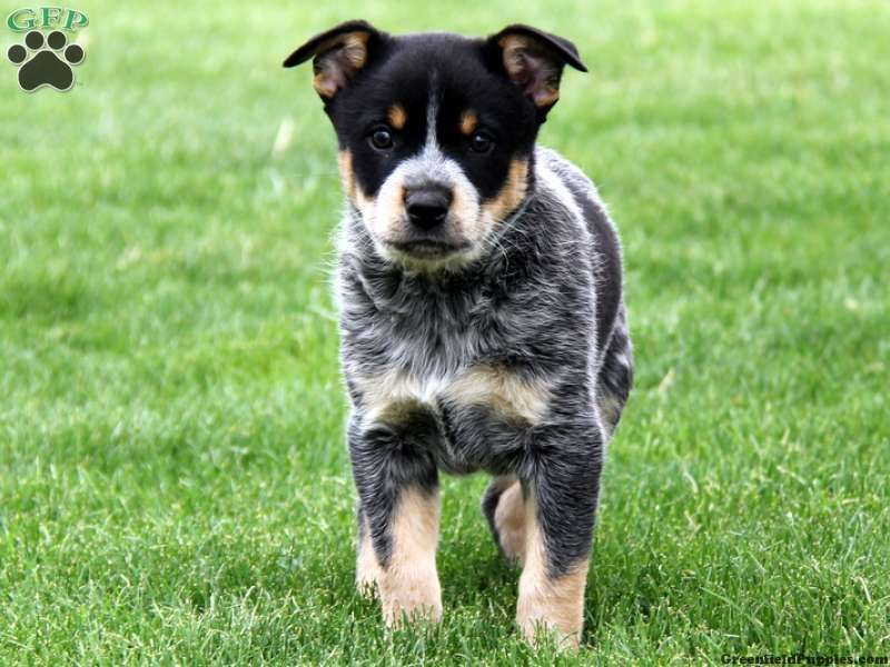 blue heeler mix - Google Search | pets | Pinterest ...