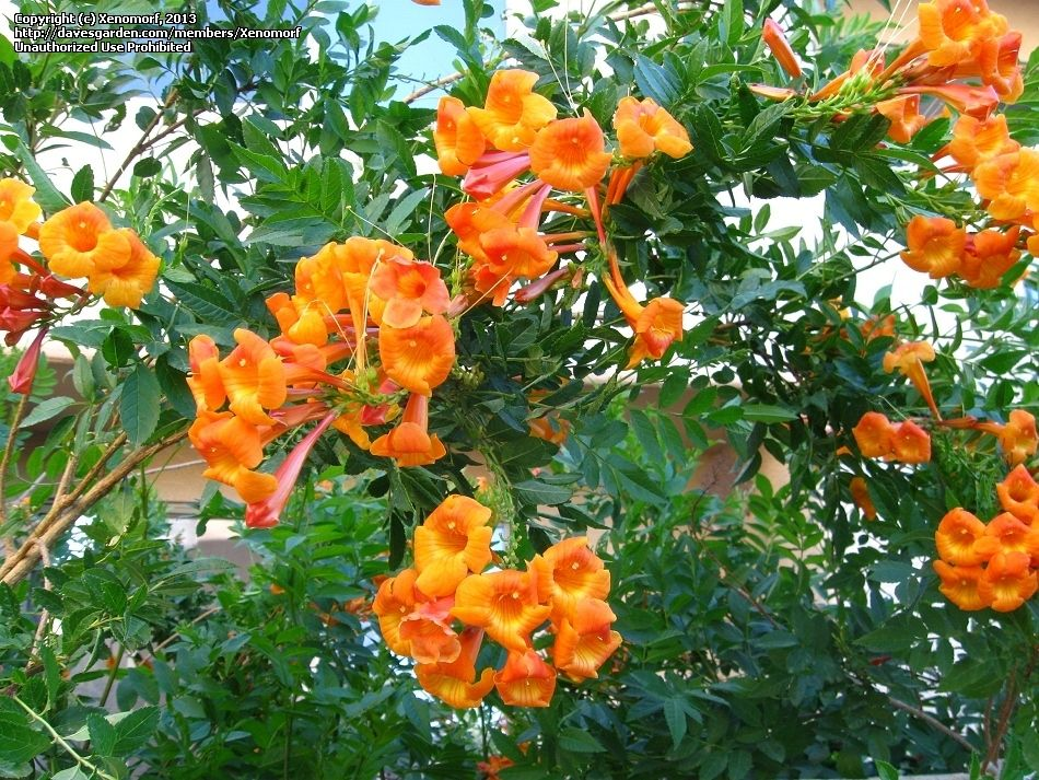 Full Size Picture Of Orange Esperanza Orangebells Orange Trumpet