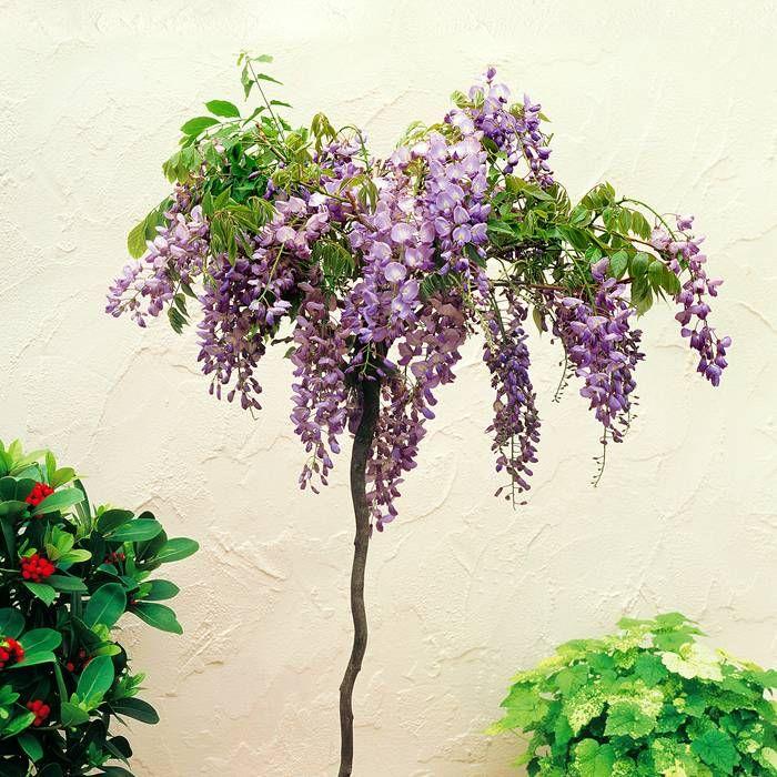 Arbre glycine sinensis standard 1 arbre achetez en ligne sur internet commander vite mur for Commander fleurs sur internet