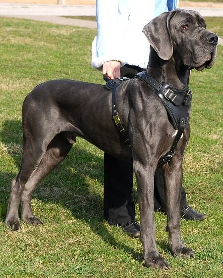Orthopedic Dog Beds For Large Extra Large Dogs Great Dane Dogs