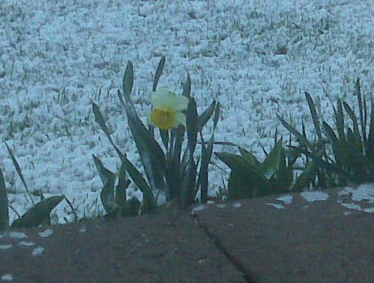 You can have snow and daffodils.