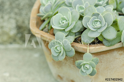 Chinese Dunce Cap Succulent Google Search Flower Pictures Beautiful Flowers Pictures Beautiful Flowers