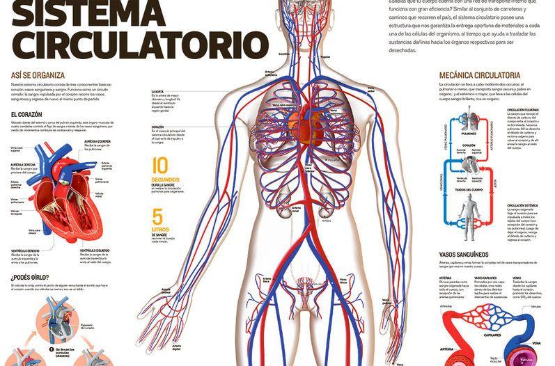 Sistema circulatorio | Sistema circulatori | Pinterest