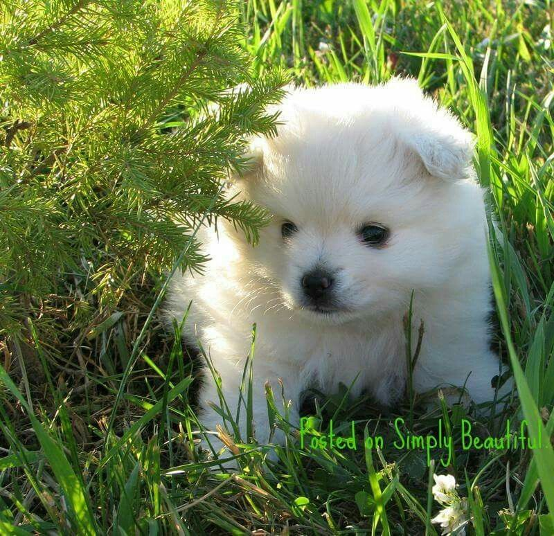 Pin By Nicole Brown Gillingham On Dogs American Eskimo Puppy American Eskimo Dog Miniature American Eskimo