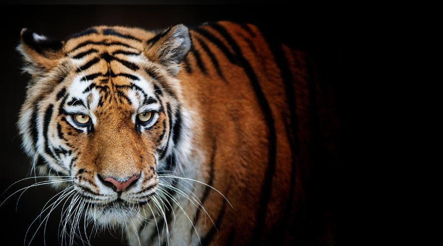 Adopt A Tiger Wildlife Adoption And Gift Center Tiger Facts Strongest Animal Tiger