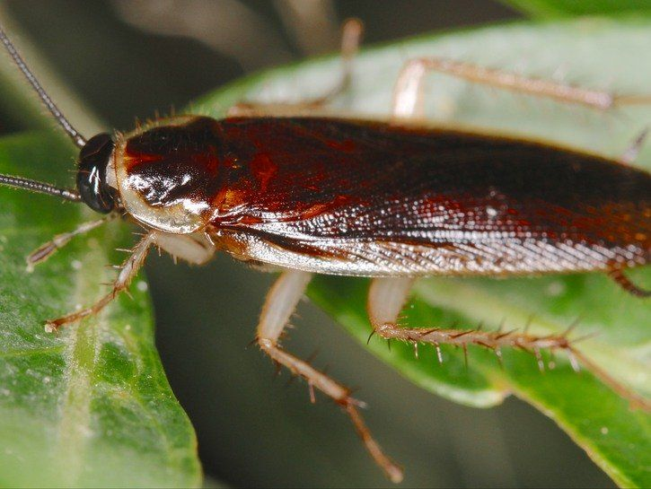 Palmetto bug vs cockroach how to get rid of this