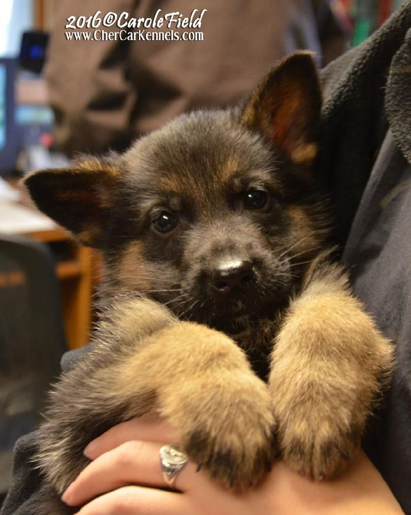 German Shepherd Puppies For Sale At Cher Car Kennels Black