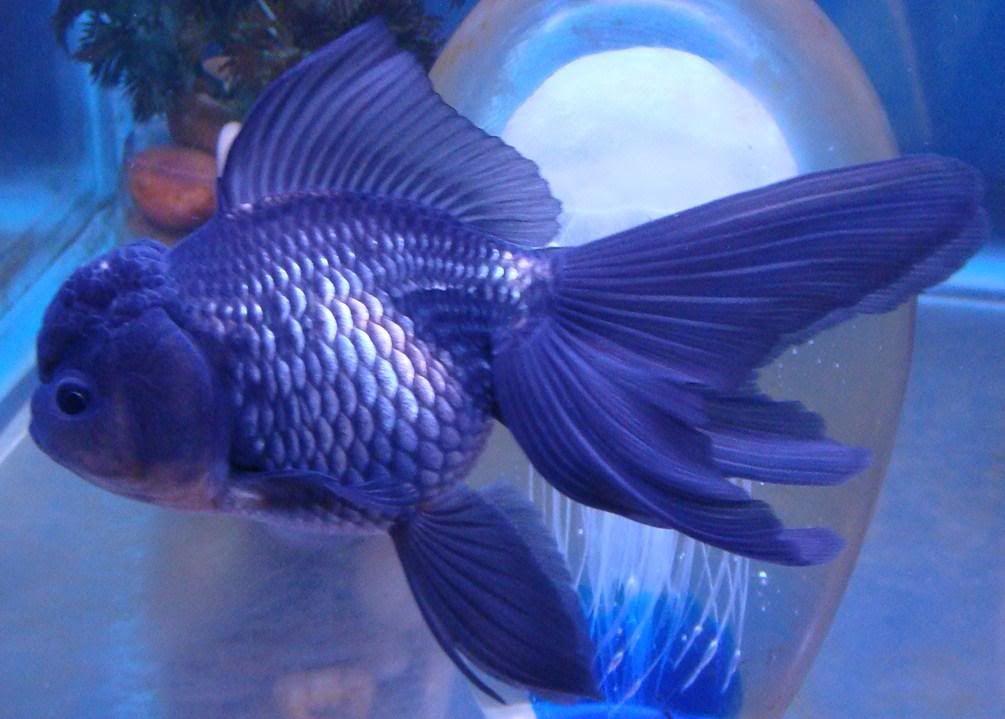 Blue oranda goldfish relaxing aquascapes pinterest for Blue freshwater fish