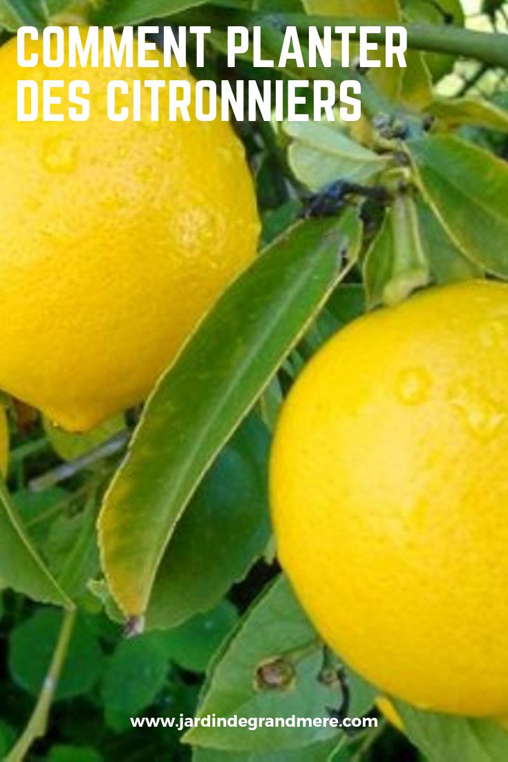 Comment Planter Des Citronniers Comment Planter Planter Citronnier Citronnier
