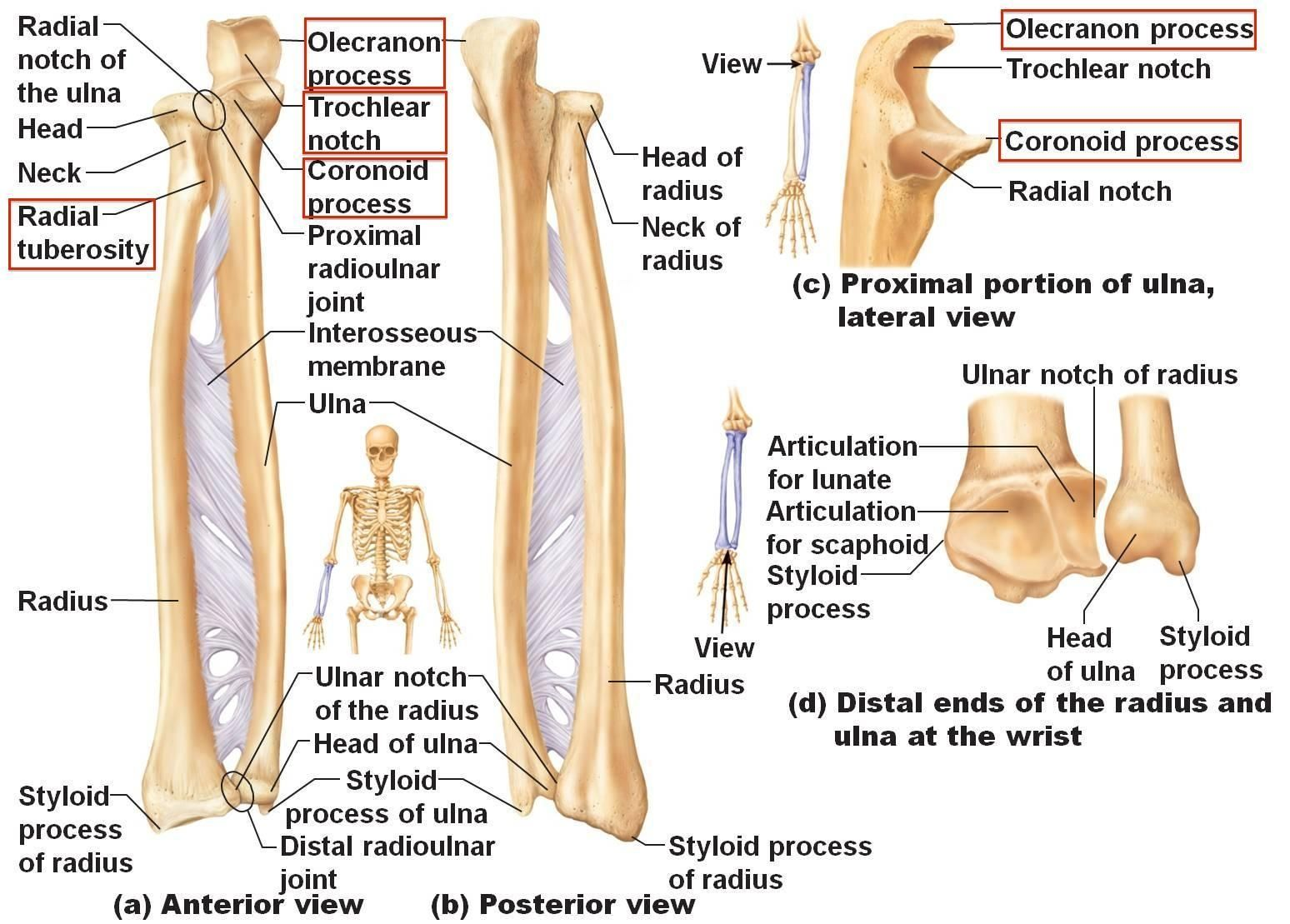 Anatomy Of Ulna Bone Kine 3027 Study Guide (2013 14 Biltz ...