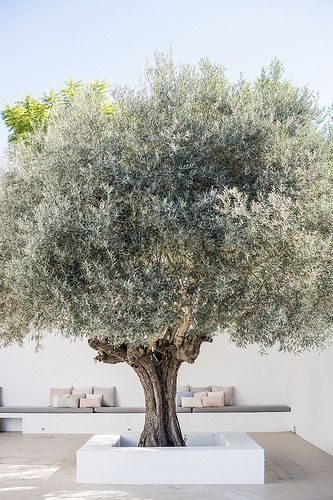 This olive tree makes a stunning focal point on this terrace which was probably …