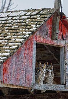 Meet Owlbert and Owleen. ---A hayloft heaven. ---Every night  ---A mouse delight...