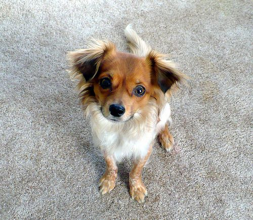 Chion Papillon Chihuahua Mix Info Temperament Puppies Pictures Chihuahua Mix Puppies Chihuahua Mix Mixed Breed Dogs