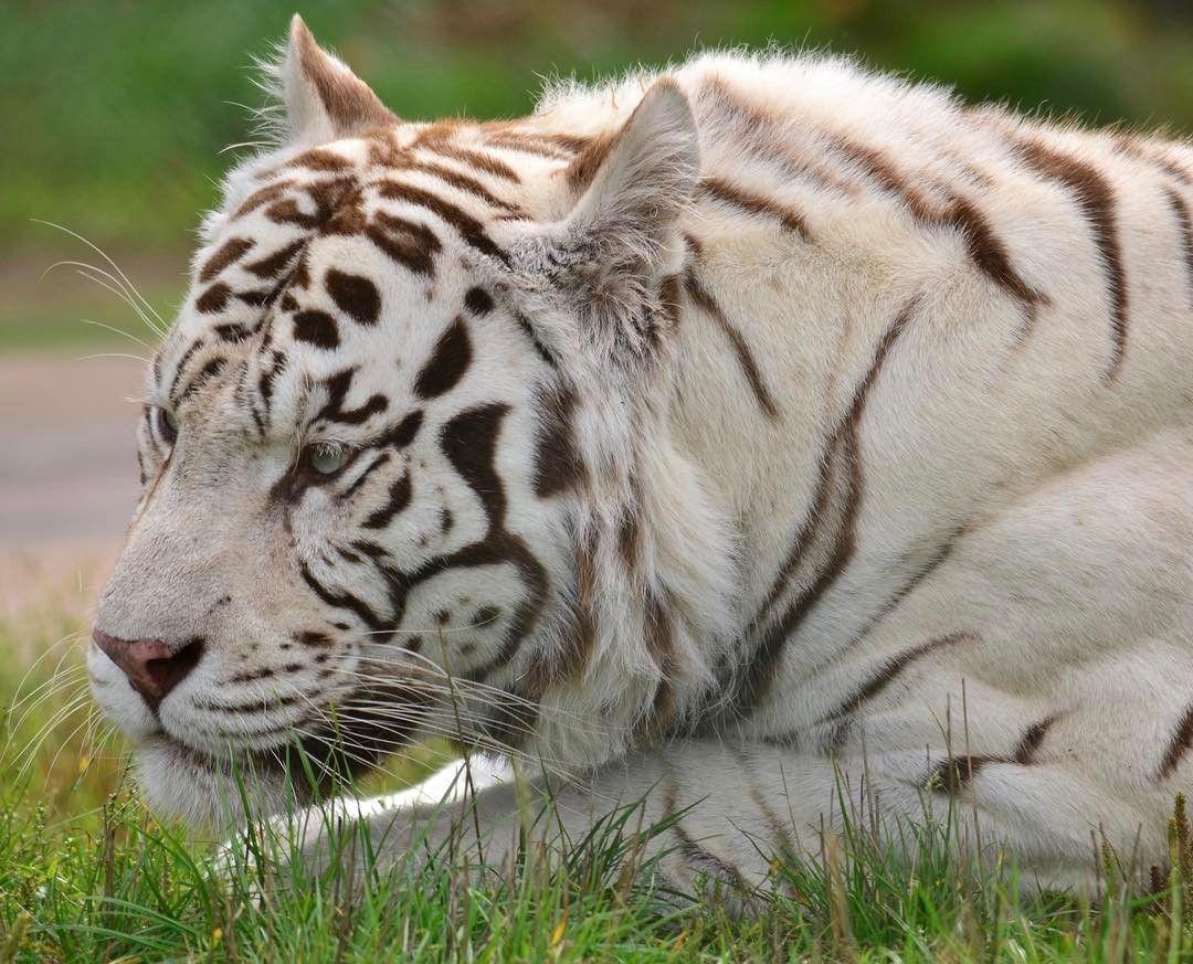 Beautiful Animals Safaris Safari Amazing Beautiful: Beautiful Buster #TigerTuesday #WMSP #Cute #Animal #Tiger
