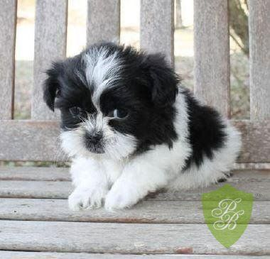 Virginia Shihpoo Breeders Shih Poo Puppies Puppies For Sale