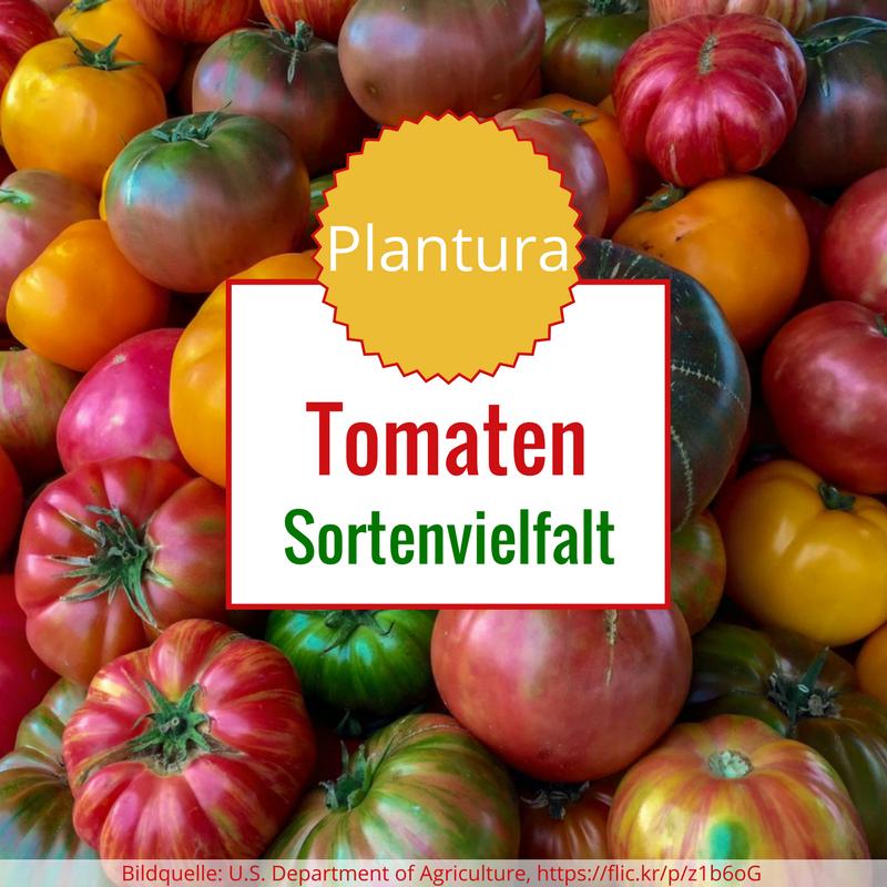 ‼️NEU VIRGINIA SWEETS Tomatensamen 10 Samen USA historische Pflanzensamen Sorten