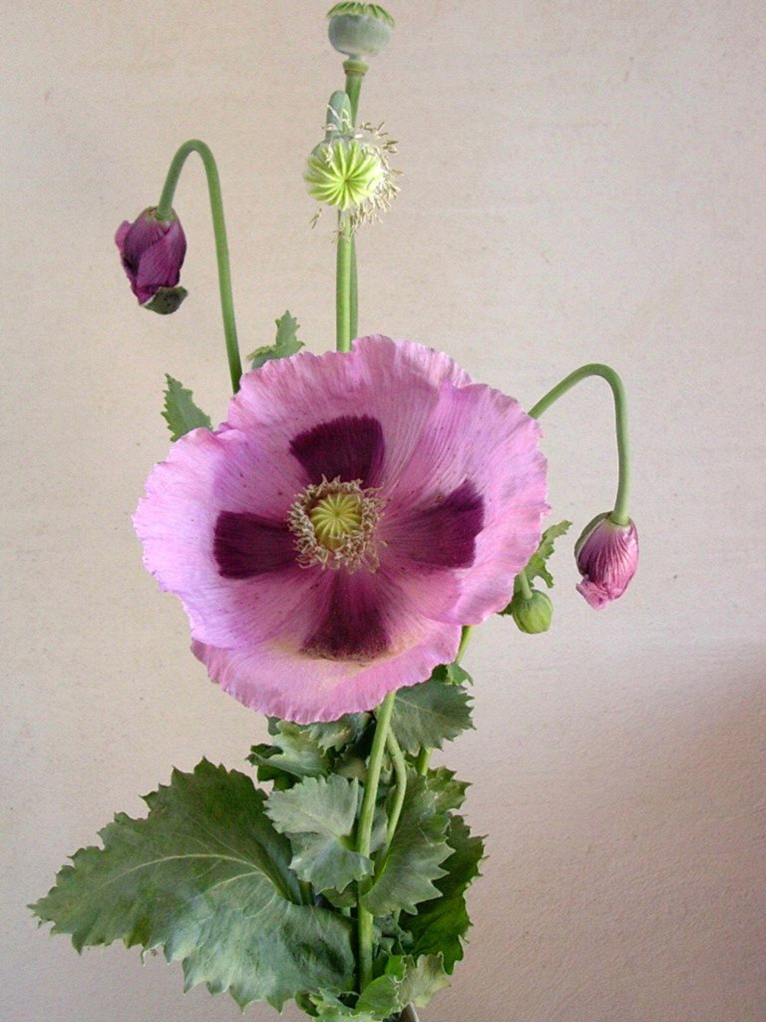 Lila Mohnblume Aufgebluht Mohnblume Blumen Mohn