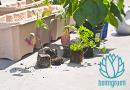 Ingwer auf dem Balkon pflanzen