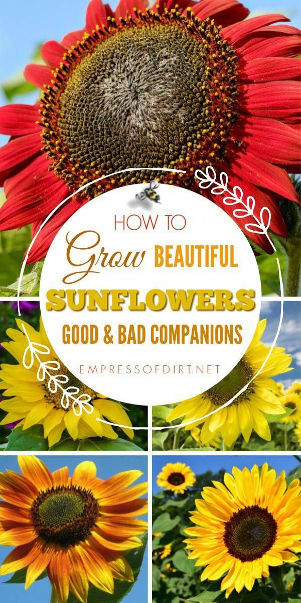 How To Grow Sunflowers Best Location And Planting Companions Gardenideasdiy Growing Sunflowers Vegetable Garden Planner Companion Gardening