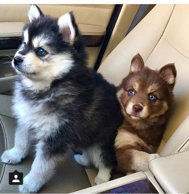 Pomsky Cute Animals Animals Puppies