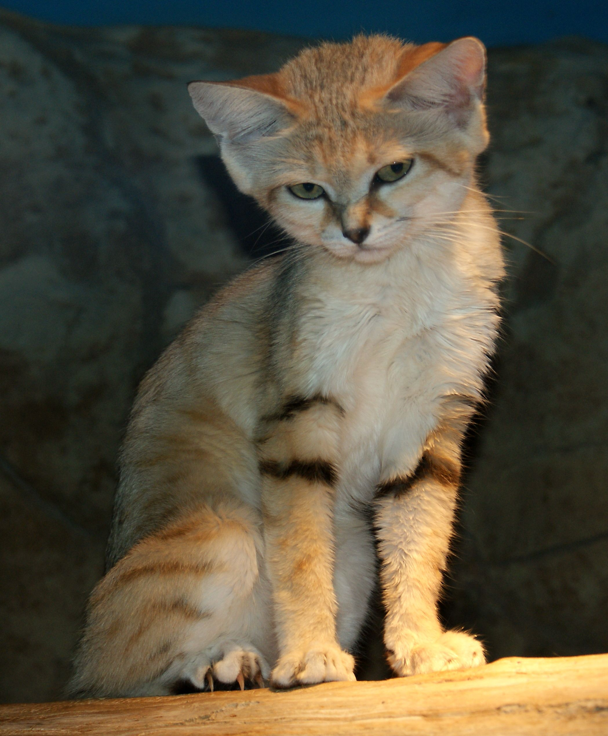 Sand cat Small wild cats, Animals, Rare cats