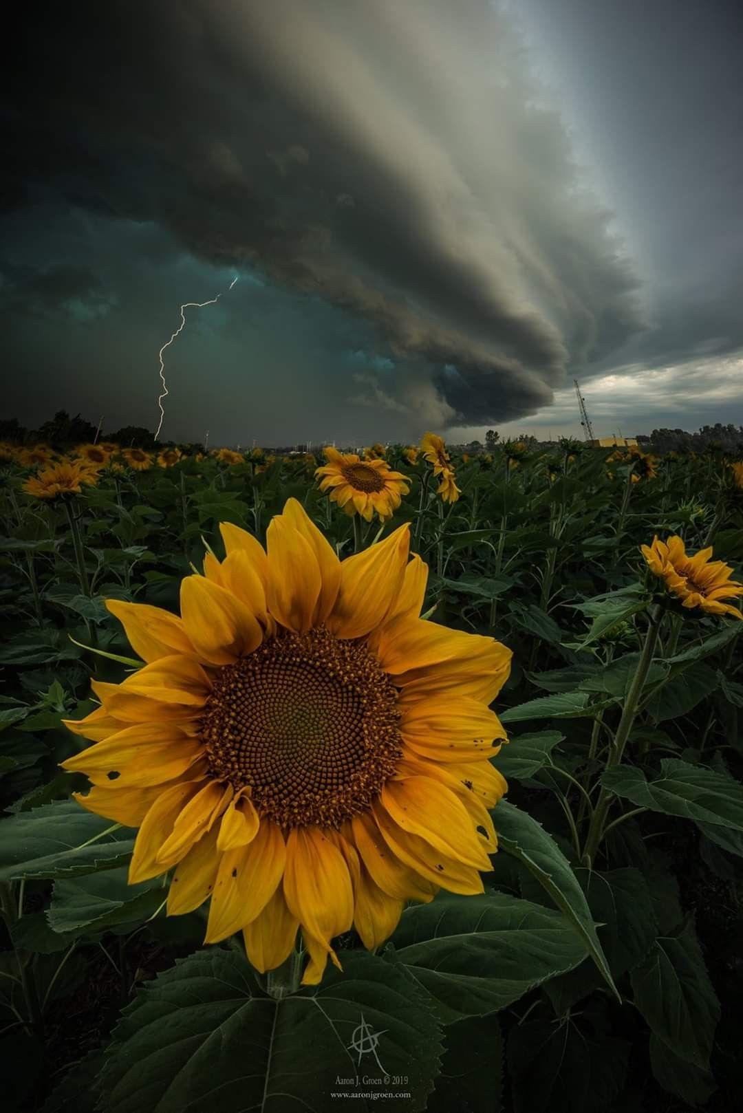 """""""Disorder"""" © Aaron Groen in 2020 Sunflower pictures"""