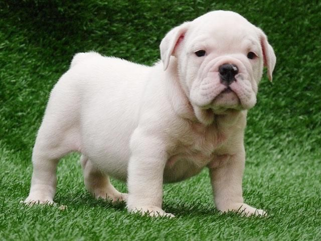 White Whitebulldog Whiteenglishbulldog English Bulldog