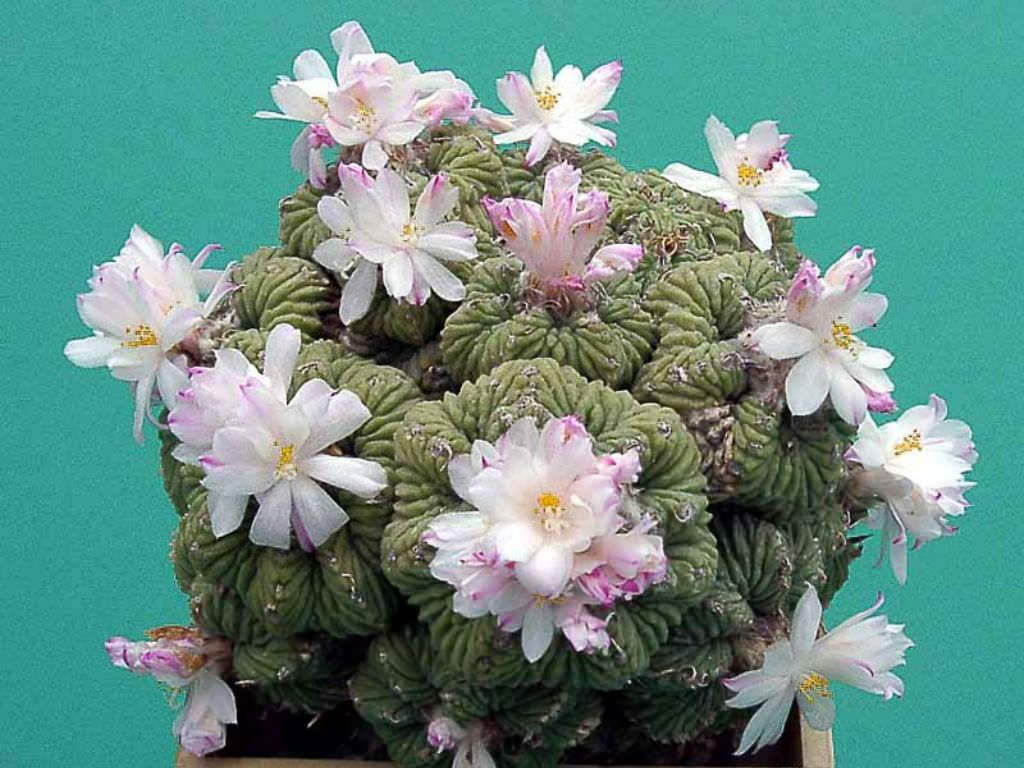 Aztekium ritteri (Aztec Cactus) is a small cactus, up to 2 inches (5 cm) in diameter, with 9 to 11 ribs, which typically have transverse...