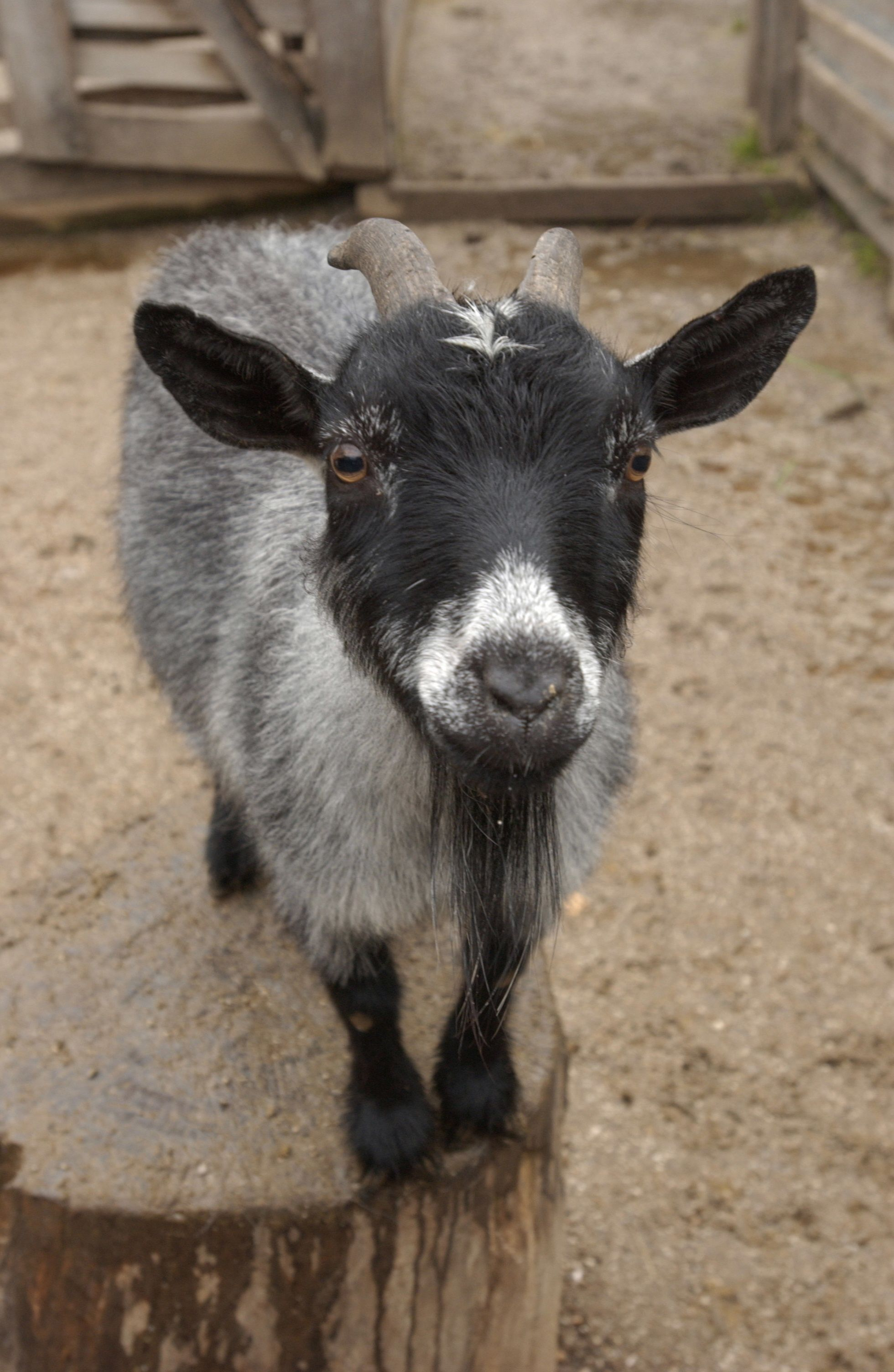 Cinder the pygmy goat at the akron zoo pygmy goat baby