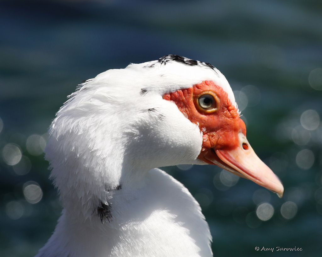 smug Muscovy Duck (With images) Muscovy duck, Duck