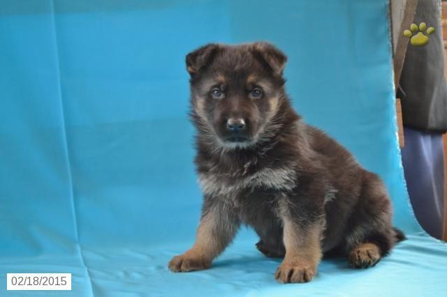 German Shepherd Puppy For Sale In Ohio Http Www Buckeyepuppies