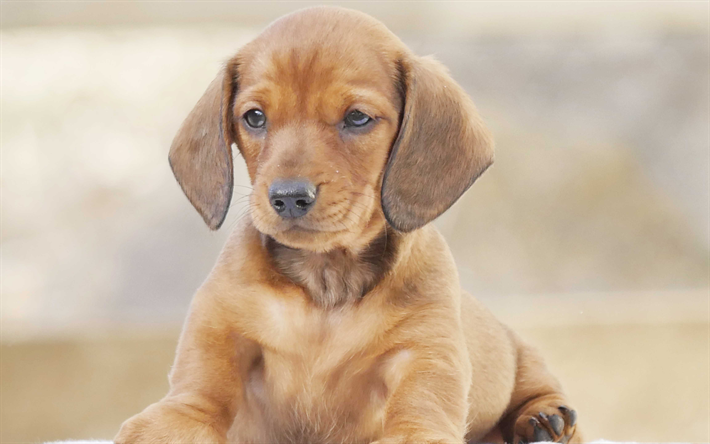 Download wallpapers 4k, dachshund, pets, cute dog, puppy