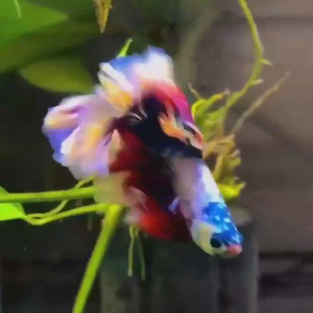 ❤ It's beautiful Betta fish