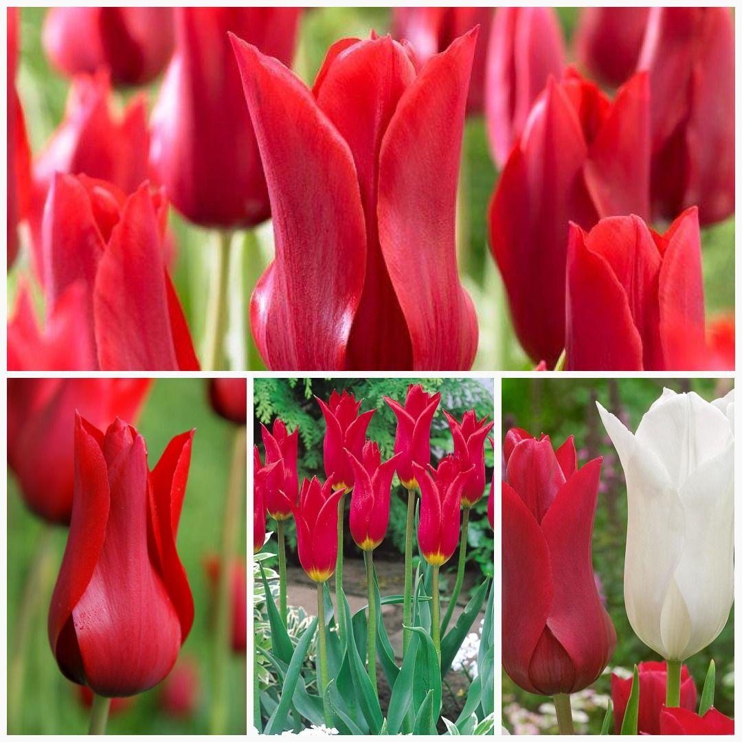 Tulip Bulbs Red Shine Bulbs Lily Flowering Most Popular Flowers Tulip Bulbs Planting Tulips