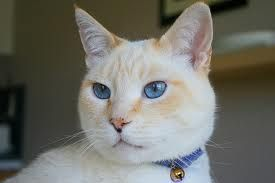 Flame Point Siamese