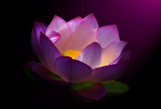 Lovely lotus.