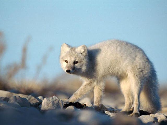 ANIMAUX: Renardpolaire   Renard arctique ou Renard isatis d...