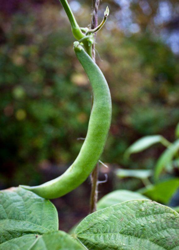 organic sultan's green crescent bean seeds. rare/heirloom variety ...
