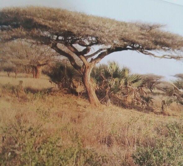 Acacia tortilis. Umbrella thorn. Afrikaans name = Haak-en -Steek..Bushveld and Kalahari Regions of South Africa.