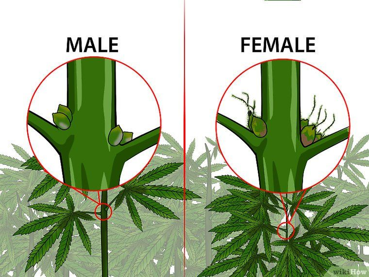 Identify Female and Male Marijuana Plants identify males or