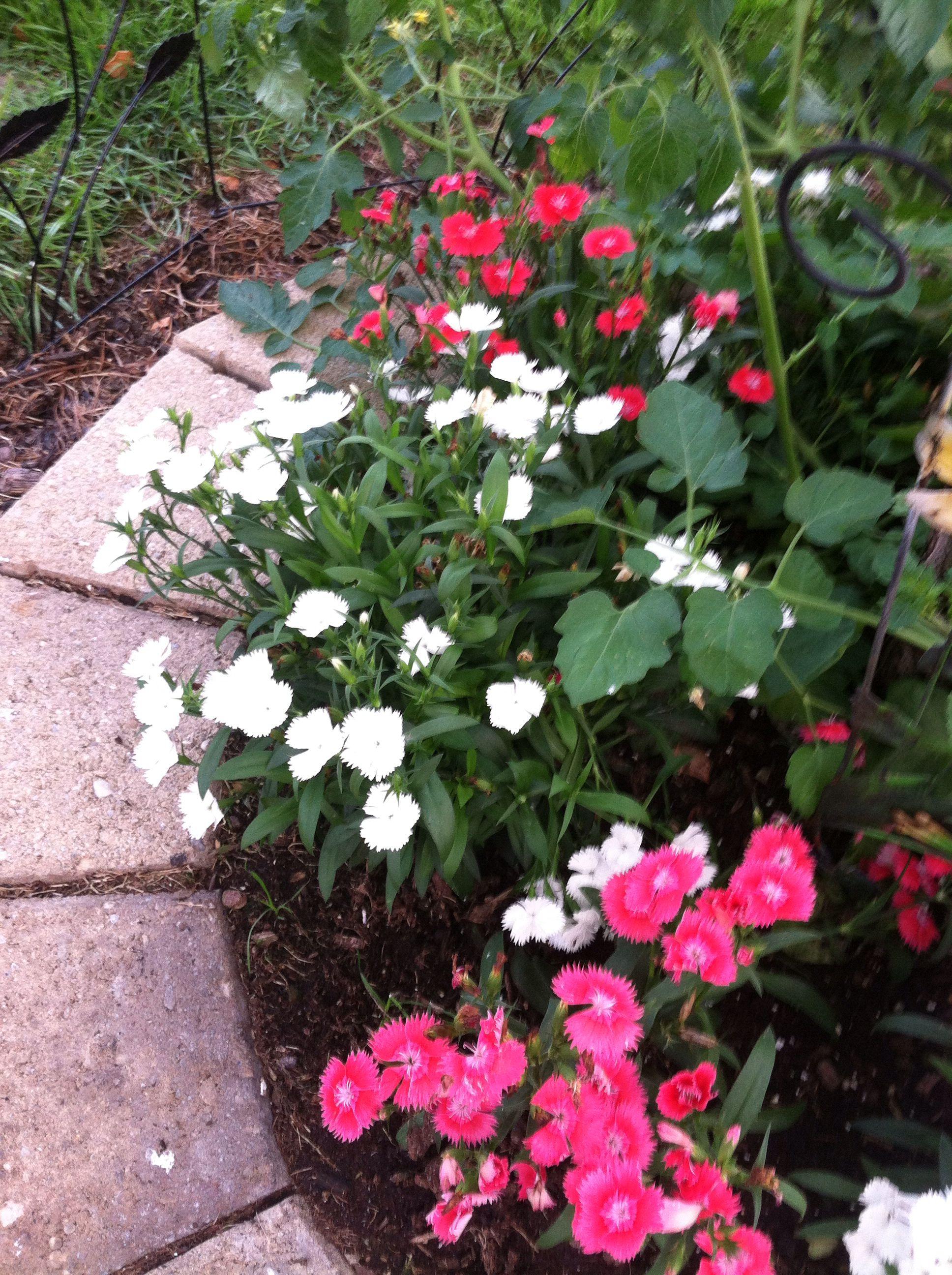 Dianthus under redbud