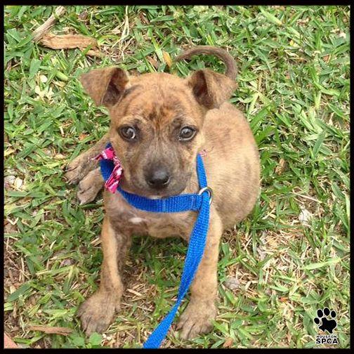 Meet Ellie The Houston Spca Pet Pick Of The Week Ellie Is A Sweet 2 Month Old Shepherd Terrier Cross Who Loves To Snugg Adoption Options Adoption Snuggles
