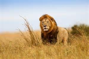 lions - Ecosia